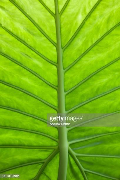close-up of leaf structure - andrew dernie stockfoto's en -beelden