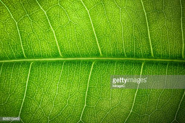 Closeup of leaf venation