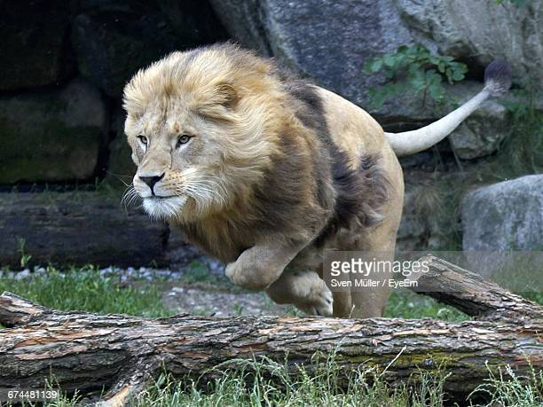 close-up of leaping lion - animals attacking stock pictures, royalty-free photos & images