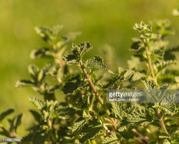 close-up of leaves against blurred background - catmint stock pictures, royalty-free photos & images