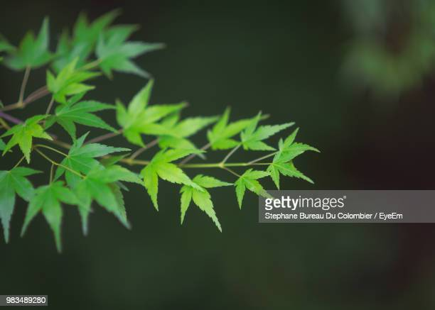 close-up of leaves against blurred background - acero foto e immagini stock