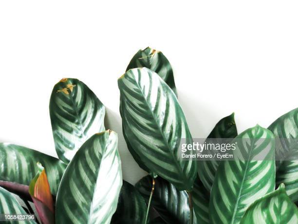 close-up of leaves against white background - houseplant stock pictures, royalty-free photos & images