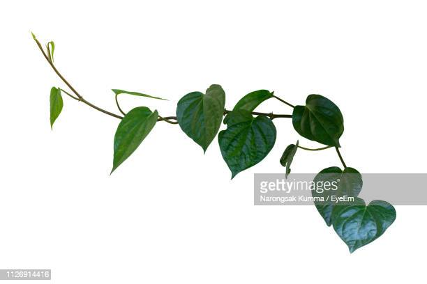 close-up of leaves against white background - plant stem stock pictures, royalty-free photos & images