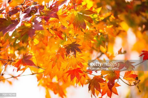 Close-Up Of Leaves At Maple Tree