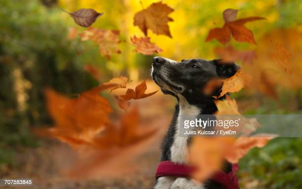 Close-Up Of Leaves Falling Around Dog