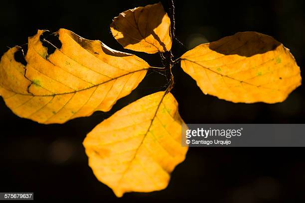 Close-up of leaves of an European beech