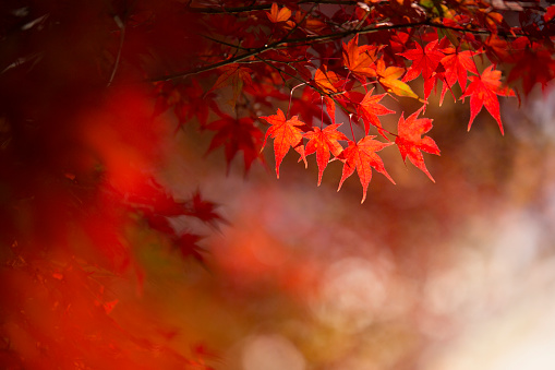 Close-Up Of leaves On Tree, Autumn Japan. - gettyimageskorea