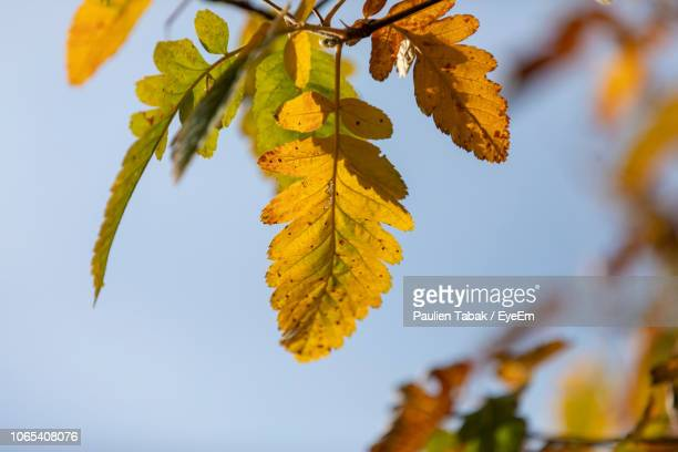 close-up of leaves on tree during autumn - paulien tabak 個照片及圖片檔