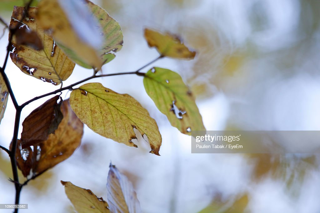 Close-Up Of Leaves On Tree During Autumn : Stockfoto