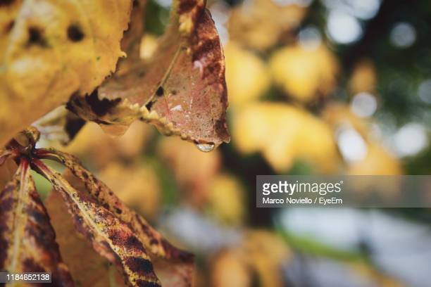 close-up of leaves on tree during autumn - glasgow green stock pictures, royalty-free photos & images
