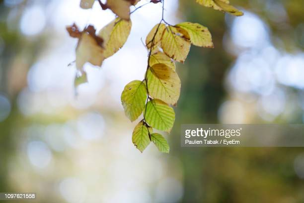 close-up of leaves on tree - paulien tabak 個照片及圖片檔