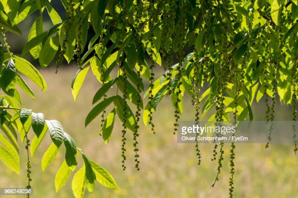 close-up of leaves on tree - olivier schittenhelm photos et images de collection