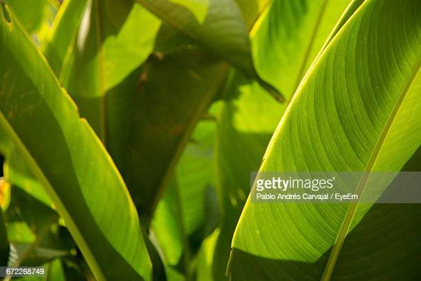 close-up of leaves - carvajal stock photos and pictures