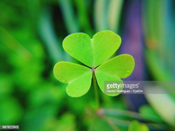 close-up of leaves - clover stock photos and pictures