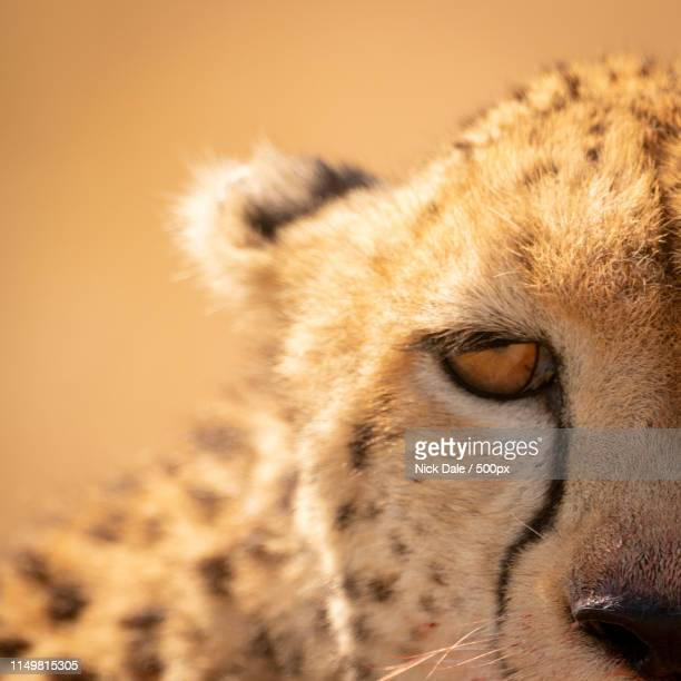 Close-Up Of Left Half Of Cheetah Face