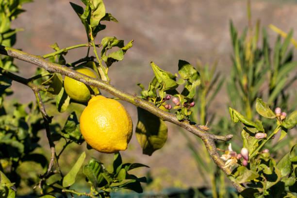 Close-up of lemon growing on tree,Gran Canaria,Las Palmas,Spain