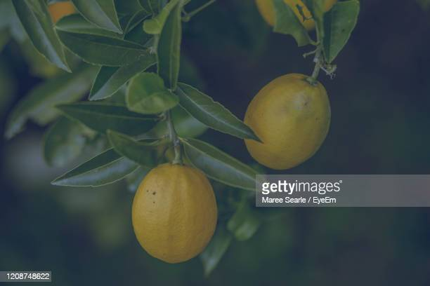 close-up of lemon hanging on tree - cambridge new zealand stock pictures, royalty-free photos & images