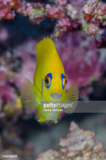 Close-up of lemonpeel angelfish (Centropyge Flavissimus), Fiji