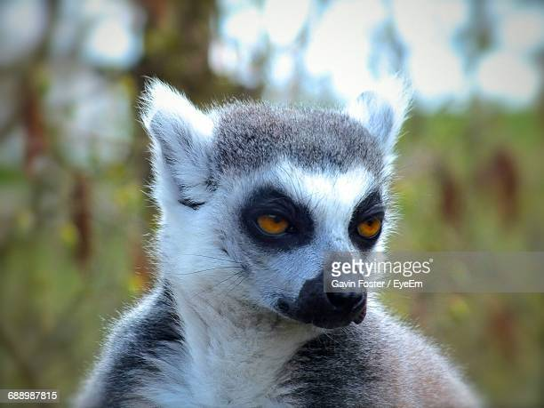 close-up of lemur looking away - lemur stock photos and pictures