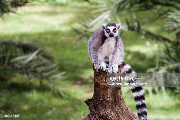 close-up of lemur sitting on tree trunk - antananarivo stock photos and pictures