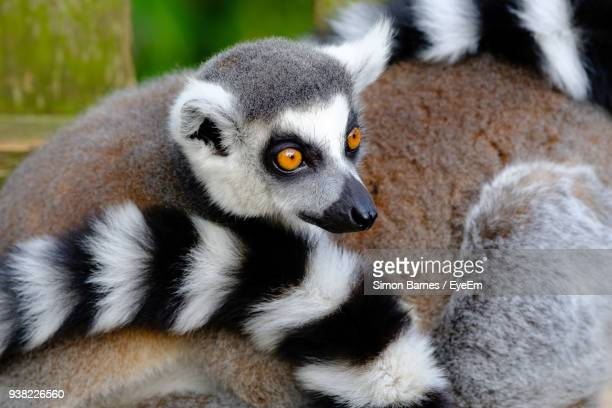 Close-Up Of Lemur Sitting Outdoors