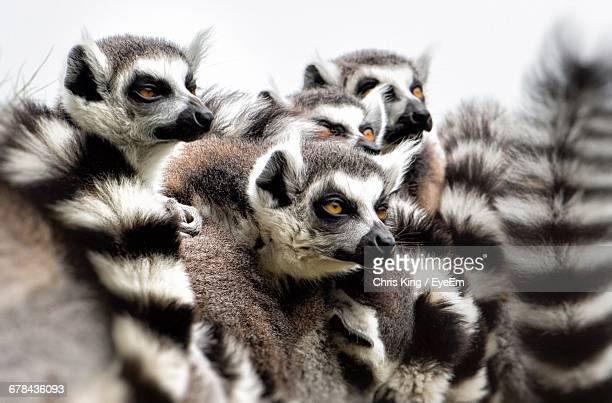 close-up of lemurs - lemur stock photos and pictures