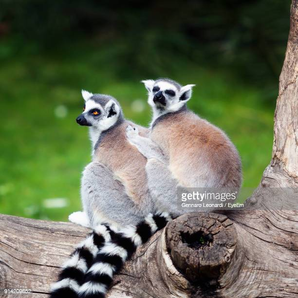 Close-Up Of Lemurs Sitting On Tree Trunk
