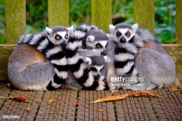 Close-Up Of Lemurs Sitting Outdoors