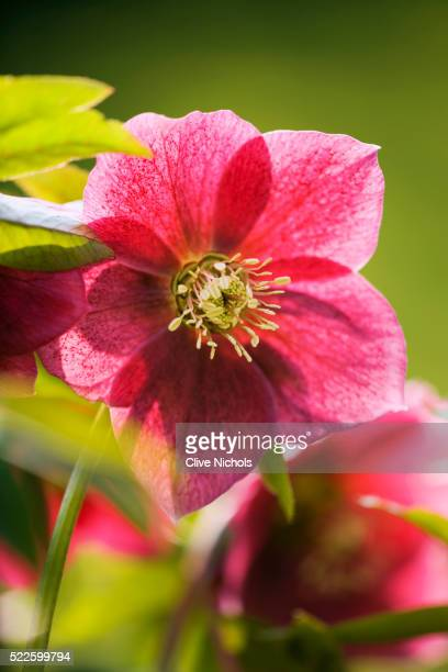 close-up of lenten rose - ヘレボルス ストックフォトと画像