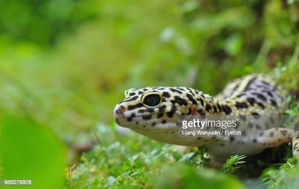 Close-Up Of Leopard Gecko Amidst Plants