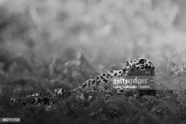 Close-Up Of Leopard Gecko On Field