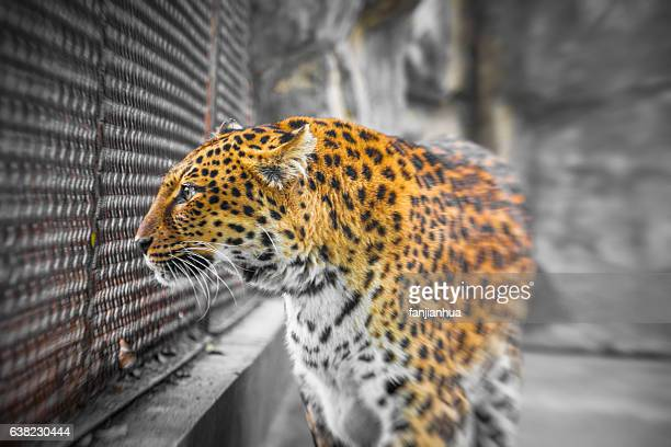 Close-Up Of Leopard In cage