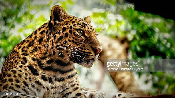 Close-Up Of Leopard Looking Away