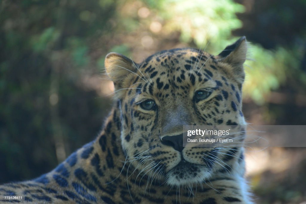 Close-Up Of Leopard Looking Away : Photo