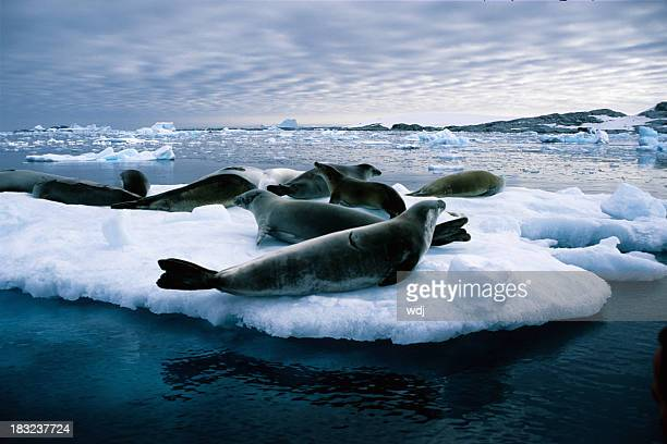 Close-up of leopard seals on a huge piece of ice