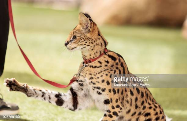 Close-Up Of Leptailurus Serval On Field
