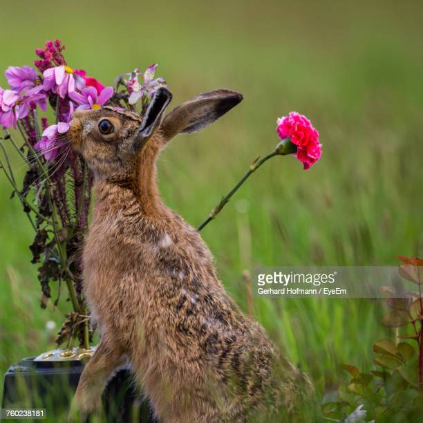 close-up of lepus europaeus by flower - brown hare stock pictures, royalty-free photos & images