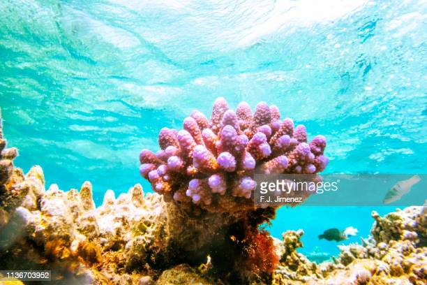close-up of lilac coral in great barrier reef - great barrier reef stock pictures, royalty-free photos & images