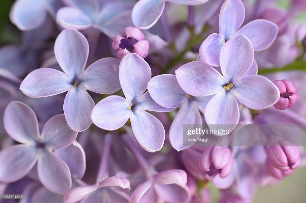 Closeup of lilac flowers : Stock Photo