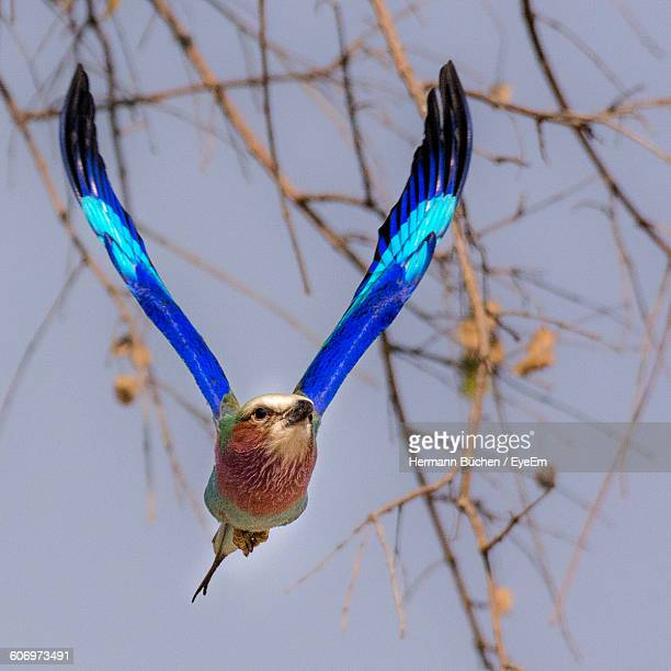 Close-Up Of Lilac-Breasted Roller Flying Against Sky