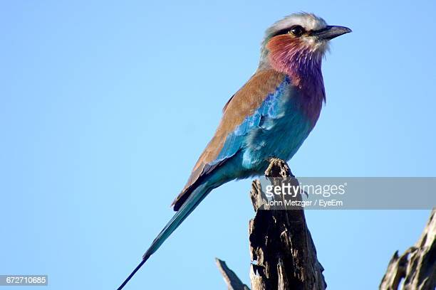 Close-Up Of Lilac-Breasted Roller Perching On Wood Against Clear Sky