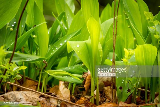 closeup of lily of the valley in the forest with dew - bouquet de muguet fotografías e imágenes de stock