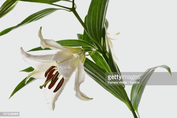 Close-Up Of Lily Plant Against White Background