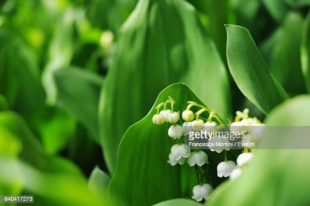 Close-Up Of Lily-Of-The-Valley Flowers Blooming Outdoors