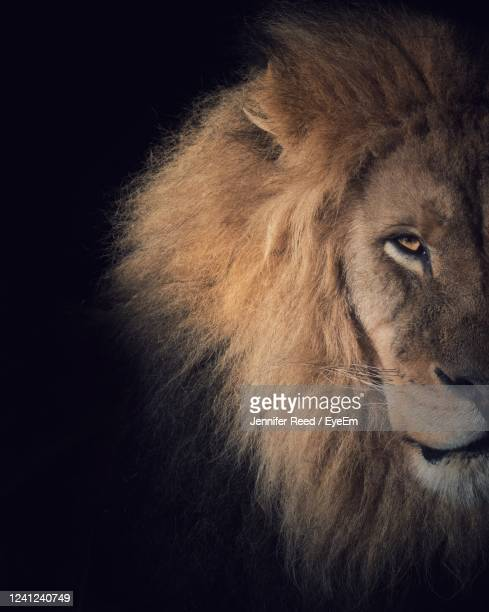 close-up of lion against black background - lion stock pictures, royalty-free photos & images
