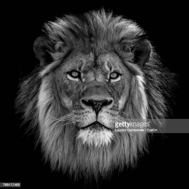 Close-Up Of Lion Against Black Background