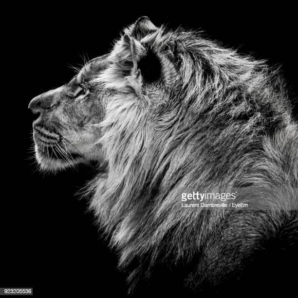 close-up of lion against black background - lion feline stock pictures, royalty-free photos & images