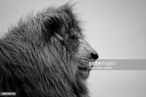Close-Up Of Lion Against Clear Sky