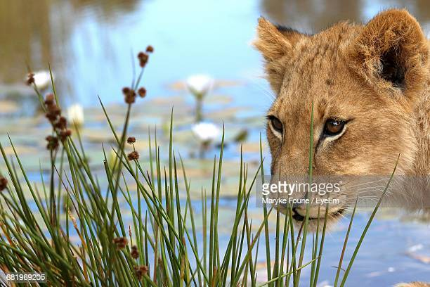 Close-Up Of Lion By Waterfront