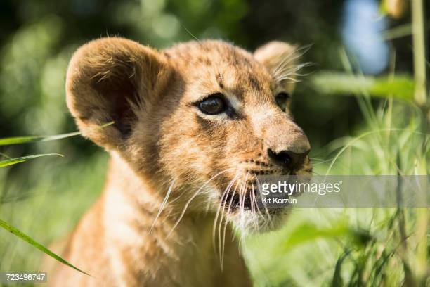 close-up of lion cub looking away - lion cub stock photos and pictures